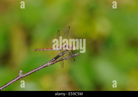 Common darter (Sympetrum striolatum), young male, just developing adult colouring. - Stock Photo