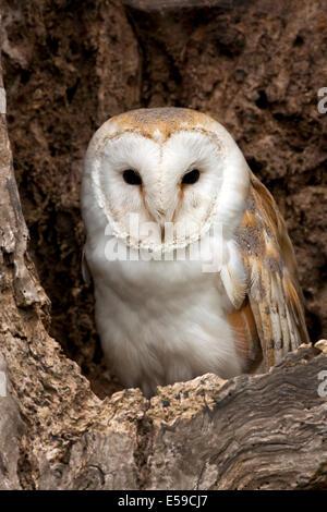 A young Barn Owl (Tyto alba) - United Kingdom - Stock Photo