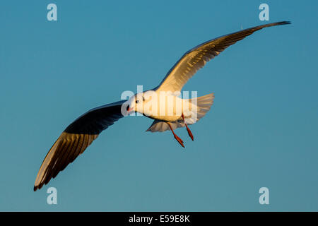 Chroicocephalus ridibundus, Black-headed Gull,South Of France - Stock Photo