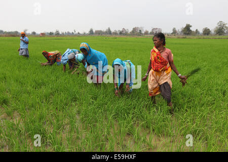 Tribal women working in paddy rice fields, Gond tribe. Mohuabhata Village, Chattisgadh, India - Stock Photo