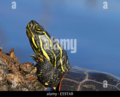 Western painted turtle sunning itself on the log in Boulevard Lake, Thunder Bay; Ontario, Canada. - Stock Photo