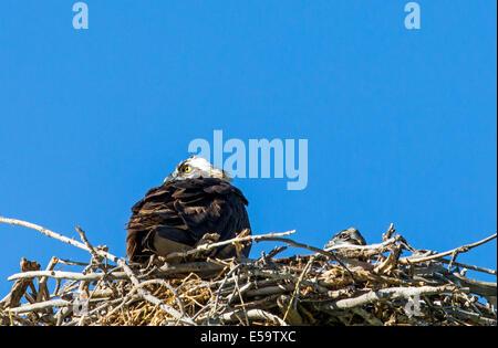 Adult Osprey & young on nest, Pandion haliaetus, sea hawk, fish eagle, river hawk, fish hawk, raptor, Chaffee County, - Stock Photo