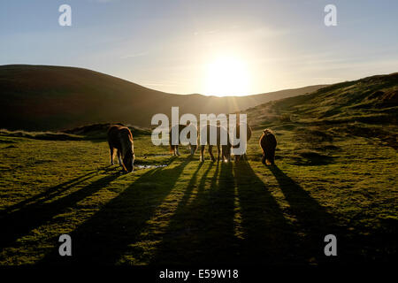 Wild horses taking a break in the evening sunshine. - Stock Photo