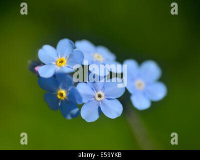 Forget -me-not flowers, Caucasus Mountains, Azerbaijan - Stock Photo
