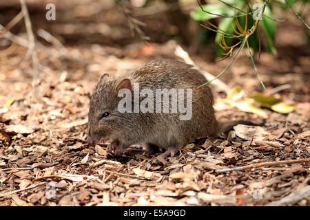 Long-nosed potoroo (Potorous tridactylus) adult, foraging, South Australia, Australia - Stock Photo