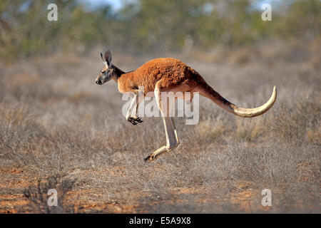 Red Kangaroo (Macropus rufus), adult male, jumping, Sturt National Park, New South Wales, Australia - Stock Photo