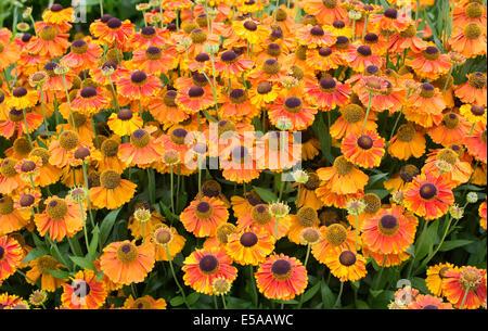 Helenium 'sahins early flowerer' . Sneezeweed flowers - Stock Photo