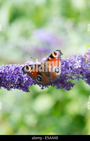 Aglais io. Peacock butterfly on Buddleja flowers in an english garden - Stock Photo