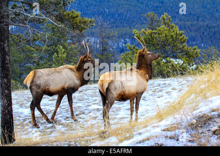 40,913.04351 Two spike antler bull elk standing close broadside, heads up looking forward, winter snowy meadow on - Stock Photo