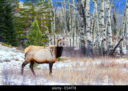 40,914.04405 Alert large antlered bull elk in a snowy meadow on the edge of a winter aspen and conifer tree forest. - Stock Photo