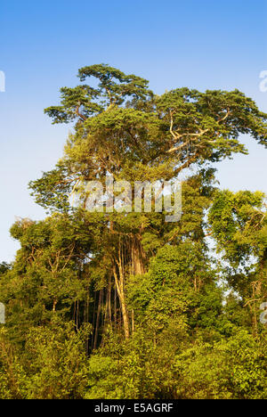 Interior of primary tropical rainforest in Peru - Stock Photo