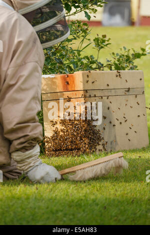 Bee Keeper collecting a wild swarm of bees from a bush in a garden - Stock Photo