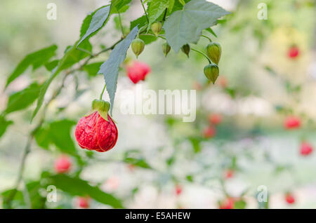 Abutilon hybridum CHINESE LANTERN hanging colorful flower against natural green background - Stock Photo