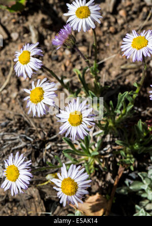 Erigeron flagellaris; Whiplash Daisy; Trailing Fleabane; Whiplash Erigeron; Asteraceae; Sunflower Family; wildflowers - Stock Photo