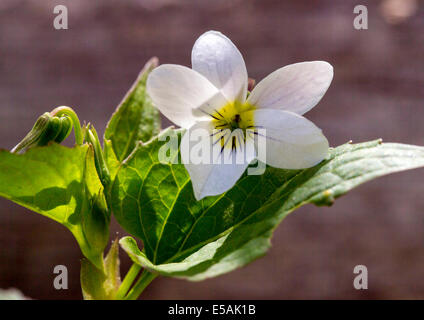 Viola canadensis; scopulorum; Viola scopulorum; White Violet; Violaceae; Violet Family; wildflowers in bloom, Central - Stock Photo