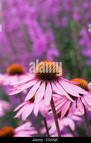 Echinacea purpurea 'Rubinglow' flower head in an herbaceous border. Coneflower. - Stock Photo