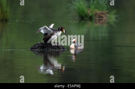 Male And Female Great Crested Grebes-Podiceps cristatus,Take Turns  To Incubate Eggs On The Nest. - Stock Photo