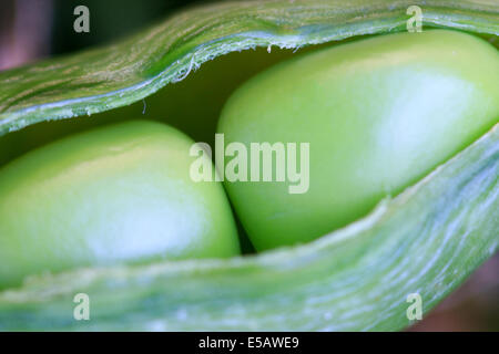 Two peas in a pod just harvested from a home garden - Stock Photo