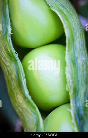Three peas in a pod just harvested from a home garden - Stock Photo