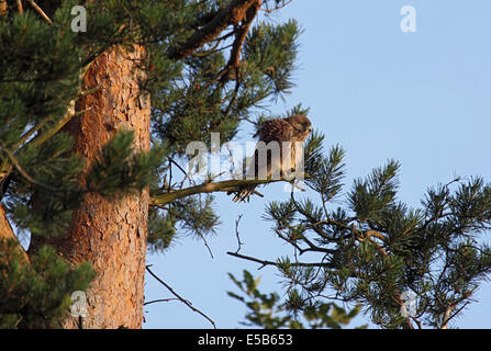 Kestrel fledgling having landed on branch of Pine tree after maiden flight in woodland in Northern England - Stock Photo
