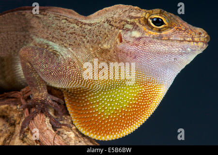 Brown Anole / Anolis sagrei - Stock Photo