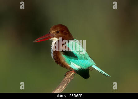 White-throated Kingfisher - Halcyon smyrnensis - Stock Photo