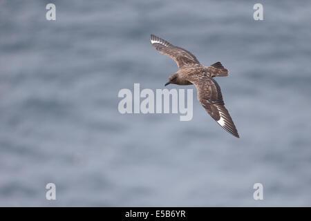 Great skua, Stercorarius skua, single bird in flight, Orkney, June 2014 - Stock Photo
