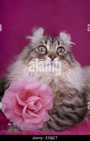 Highland Lynx cat head shot on pink background with rose - Stock Photo