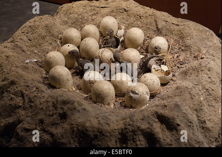 Dinosaur Maiasaura peeblesorum nest model, Ornithopoda - Stock Photo