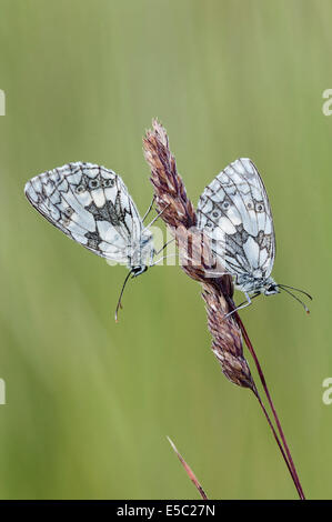 Marbled white butterflies on grass stalk - Stock Photo