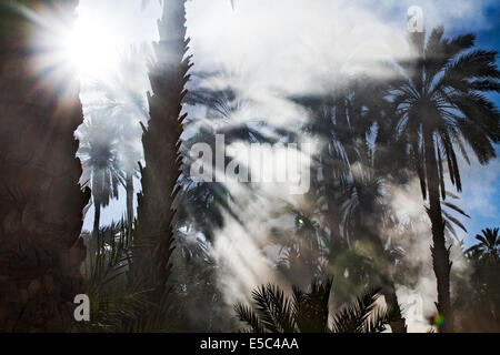 Palm date trees in the largest oasis of Tozeur in Tunisia - Stock Photo