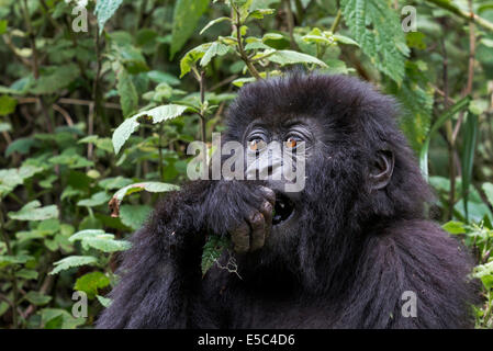 A portrait of a young mountain gorilla (Gorilla beringei beringei) in the Virunga Mountains Rwanda. - Stock Photo