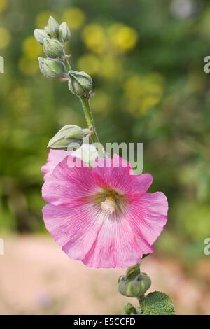 Alcea rosea. Light pink hollyhock in the garden. - Stock Photo