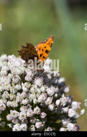 Polygonia c-album. Comma butterfly on an allium flowerhead. - Stock Photo