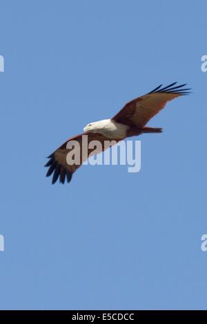 Brahminy Kite in flight.(Haliastur indus).Bangalore,Inida - Stock Photo