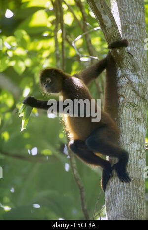 Geoffroy's Spider Monkey eating leaves (Ateles geoffroyi).Corcovado National Park Costa Rica - Stock Photo