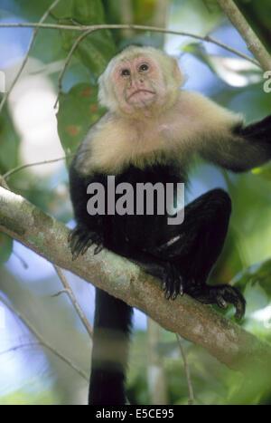 White-faced Capuchin Monkey (Cebus capucinus).Manuel Antonio National Park Costa Rica - Stock Photo