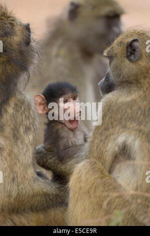 Baby Chacma Baboon (Papio ursinus) with adults. Chobe National Park, Botswana - Stock Photo