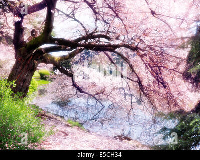 Blossoming cherry tree branches touching water with artistic light bloom effect. Shinjuku Gyoen National Garden - Stock Photo