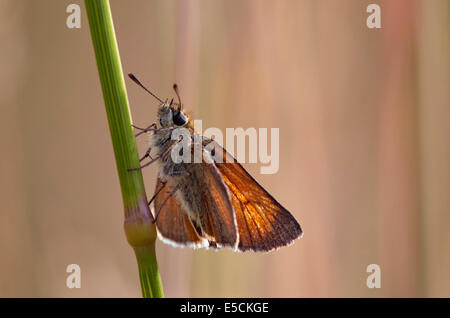 Small Skipper butterfly at rest on grass. Charmouth, Dorset, England. - Stock Photo