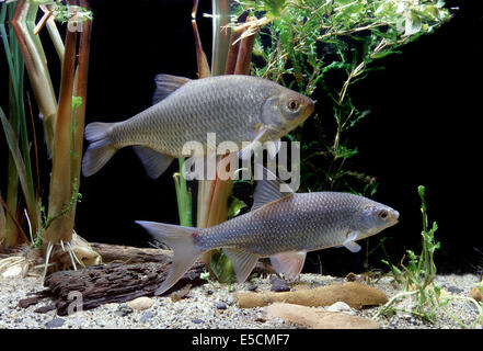 Common Rudd (Scardinius erythrophthalmus), top, and Common Roach (Rutilus rutilus), bottom - Stock Photo
