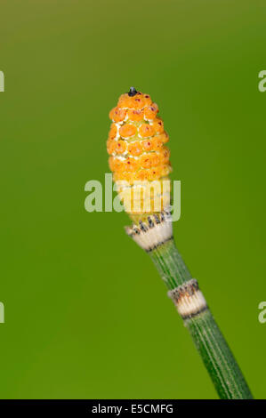 Rough horsetail (Equisetum hyemale), spores, North Rhine-Westphalia, Germany - Stock Photo