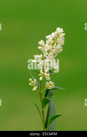 Common privet (Ligustrum vulgare), flowers, North Rhine-Westphalia, Germany - Stock Photo