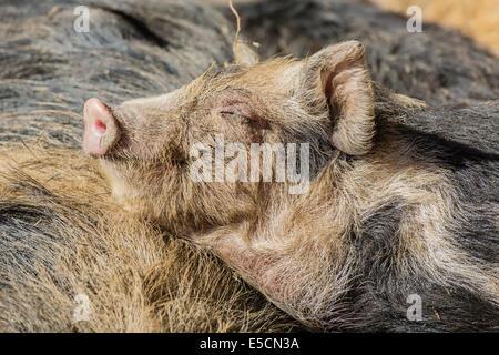 Turopolje Pig (Sus scrofa domestica), sleeping piglet, Tyrol, Austria - Stock Photo
