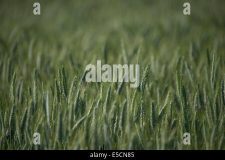 Barley (Hordeum vulgare), barley field - Stock Photo