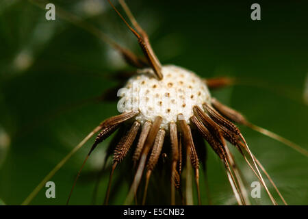 Common Dandelion (Taraxacum officinale), blowball, head with individual seeds - Stock Photo