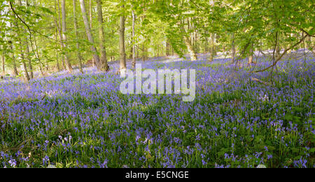 Spanish Bluebells (Hyacinthoides hispanica) in a deciduous forest - Stock Photo