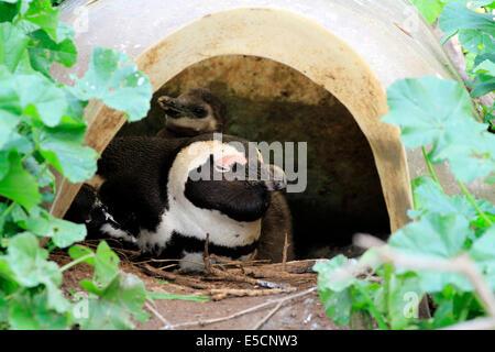 African Penguin (Spheniscus demersus) at Boulders Beach  Penguin Colony, Simon's Town . - Stock Photo