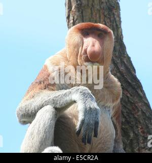 Mature  male Proboscis or  long nosed monkey (Nasalis larvatus), close-up of upper body and head. Native to the - Stock Photo