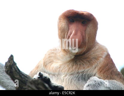 Male Proboscis or  long-nosed monkey (Nasalis larvatus), close-up of upper body and head, facing camera - Stock Photo